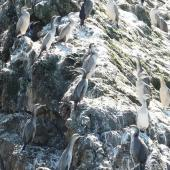 Spotted shag. Immatures and adults roosting. Matiu/Somes Island, Wellington Harbour, October 2010. Image © Alan Tennyson by Alan Tennyson
