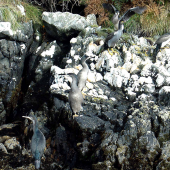 Spotted shag. Roosting flock of blue shags 'oliveri' subspecies. Stewart Island. Image © Art Polkanov by Art Polkanov