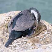 Spotted shag. Adult feeding recently hatched chick. Oamaru, November 2018. Image © Rebecca Bowater by Rebecca Bowater www.floraandfauna.co.nz