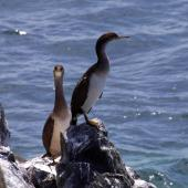 Spotted shag. Juvenile blue shags 'oliveri' subspecies. Ruapuke Island, December 2012. Image © Colin Miskelly by Colin Miskelly