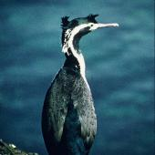 Spotted shag. Adult blue shag 'oliveri' subspecies in breeding plumage. Stewart Island, October 1967. Image © Department of Conservation (image ref: 10046948) by Alan Wright, Department of Conservation Courtesy of Department of Conservation
