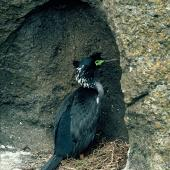 Pitt Island shag. Adult standing in nest. Little Mangere Island, Chatham Islands, September 1976. Image © Department of Conservation (image ref: 10035644) by Rod Morris, Department of Conservation Courtesy of Department of Conservation