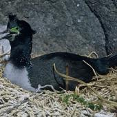 Pitt Island shag. Adult on nest. Star Keys, Chatham Islands, August 1968. Image © Department of Conservation (image ref: 10038251) by John Kendrick, Department of Conservation Courtesy of Department of Conservation