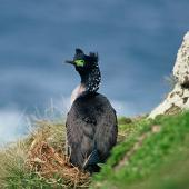 Pitt Island shag. Adult in breeding plumage showing back view. Rangatira Island, Chatham Islands. Image © Department of Conservation (image ref: 10050876) by Helen Gummer, Department of Conservation Courtesy of Department of Conservation