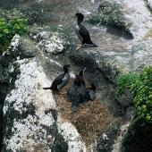 Pitt Island shag. Pair with chicks close to fledging. Rangatira Island, Chatham Islands, December 2002. Image © Department of Conservation (image ref: 10050877) by Helen Gummer, Department of Conservation Courtesy of Department of Conservation