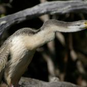 Darter. Adult female. Causeway, Kinka Beach, Queensland. Image © Noel Knight by Noel Knight