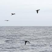 Great frigatebird. Flock of 10 birds. Meyer Islands (Kermadecs), March 2021. Image © Scott Brooks (ourspot) by Scott Brooks