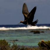 Lesser frigatebird. Juvenile. Tetiaroa, French Polynesia, October 2016. Image © James Russell by James Russell