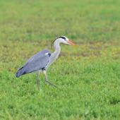 Grey heron. Adult walking and hunting. Pontigny,  France, February 2016. Image © Cyril Vathelet by Cyril Vathelet