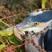 Grey heron. Close view of the head, from the left side. Chablis, France, October 2015. Image © Cyril Vathelet by Cyril Vathelet