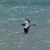 Grey heron. Adult in flight. West Coast National Park, South Africa, November 2015. Image © Alan Tennyson by Alan Tennyson