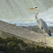Grey heron. Front/side view of adult standing. Gurgy, France, June 2016. Image © Cyril Vathelet by Cyril Vathelet