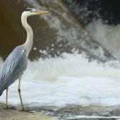 Grey heron. Back/side view of adult standing. Gurgy, France, June 2016. Image © Cyril Vathelet by Cyril Vathelet