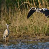 Grey heron. Adult in flight landing next to another. Bas Rebourseaux, France, May 2016. Image © Cyril Vathelet by Cyril Vathelet