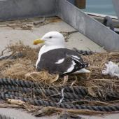 Southern black-backed gull. Adult on nest built on wharf. Gulf Harbour, North Auckland, December 2007. Image © Josie Galbraith by Josie Galbraith