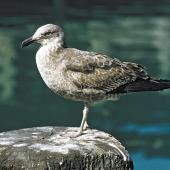 Southern black-backed gull. Immature. . Image © Department of Conservation by Fred Kinsky Courtesy of Department of Conservation