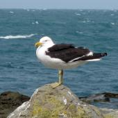Southern black-backed gull. Adult. Kaikoura coast, February 2009. Image © James Mortimer by James Mortimer