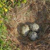 Southern black-backed gull. Nest with 3 eggs. Kapiti Island, November 2006. Image © Peter Reese by Peter Reese