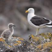 Southern black-backed gull. Adult, chick and abandoned egg. Mount Maunganui, December 2012. Image © Tony Whitehead by Tony Whitehead www.wildlight.co.nz