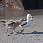 Southern black-backed gull. Juvenile begging for food from adult. Whakatane, March 2012. Image © Raewyn Adams by Raewyn Adams