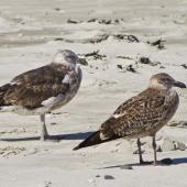 Southern black-backed gull. Different stages of immature plumage - the bird to the left is older. Spirits Bay, April 2011. Image © Raewyn Adams by Raewyn Adams