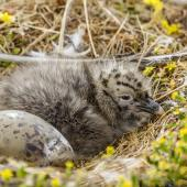 Southern black-backed gull. Newly hatched chick and egg in nest. Awarua Bay, January 2015. Image © Glenda Rees by Glenda Rees https://www.flickr.com/photos/nzsamphotofanatic/
