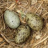 Southern black-backed gull. Three eggs in nest. Turakina River estuary, October 2010. Image © Ormond Torr by Ormond Torr