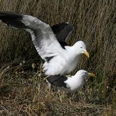 Southern black-backed gull. Pair copulating on nest. Whangaehu River estuary, November 2010. Image © Ormond Torr by Ormond Torr