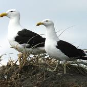 Southern black-backed gull. Male and female at nest site. Whangaehu River estuary, December 2013. Image © Ormond Torr by Ormond Torr