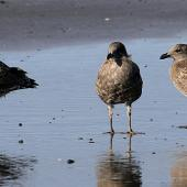 Southern black-backed gull. Juveniles. Whanganui, January 2011. Image © Ormond Torr by Ormond Torr