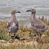 Southern black-backed gull. Two chicks beside the sea. Nelson Haven, December 2014. Image © Rebecca Bowater by Rebecca Bowater FPSNZ AFIAP www.floraandfauna.co.nz
