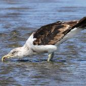 Southern black-backed gull. Immature assuming adult plumage. Whanganui, February 2013. Image © Ormond Torr by Ormond Torr