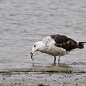 Southern black-backed gull. Immature bird eating a cushion star. Tauranga, February 2012. Image © Raewyn Adams by Raewyn Adams