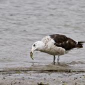 Southern black-backed gull. Immature bird eating a cushion star. Tauranga, February 2012. Image © Raewyn Adams by Raewyn Adams