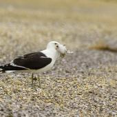 Southern black-backed gull. Adult with tern chick prey. Awarua Bay, December 2014. Image © Glenda Rees by Glenda Rees https://www.flickr.com/photos/nzsamphotofanatic/