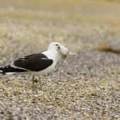 Southern black-backed gull. Adult with tern chick prey. Awarua Bay, December 2014. Image © Glenda Rees by Glenda Rees https://www.flickr.com/photos/nzsamphotofanatic/