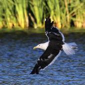 Southern black-backed gull. Adult in flight. Whanganui, March 2012. Image © Ormond Torr by Ormond Torr