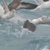 Southern black-backed gull. 2nd year (left), 3rd year (upper right), and 4+ year adult (lower right) with an adult black-browed mollymawk. Cook Strait, August 2014. Image © Kyle Morrison by Kyle Morrison