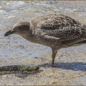Southern black-backed gull. Immature feeding on moribund spotted stargazer. Wellington Harbour, February 2015. Image © Steven Schwartzman by Steven Schwartzman