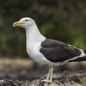 Southern black-backed gull. Adult. Rangitoto Island, December 2017. Image © Oscar Thomas by Oscar Thomas