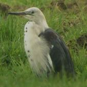 Pacific heron. Non-breeding plumage. Wayby, south of Wellsford, September 2013. Image © Tim Barnard by Tim Barnard