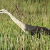Pacific heron. Adult looking for food. Mareeba Wetlands, Atherton Tableland,  Queensland,  Australia, October 2013. Image © Imogen Warren by Imogen Warren