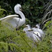 White heron. Adult at nest with chicks. Waitangiroto River, South Westland, November 2010. Image © Glenda Rees by Glenda Rees http://www.flickr.com/photos/nzsamphotofanatic/