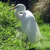 White heron. Captive adult coming into breeding plumage. Willowbank Wildlife Park, Christchurch. Image © James Mortimer by James Mortimer