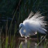 White heron. Bird in breeding plumage bathing. Westgate Park, Melbourne, Victoria, Australia, December 2009. Image © Sonja Ross by Sonja Ross