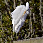 White heron. Adult preening . Miranda, March 2012. Image © Raewyn Adams by Raewyn Adams