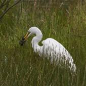 White heron. Adult with pukeko chick prey. Near Twizel, December 2012. Image © Glenda Rees by Glenda Rees http://www.flickr.com/photos/nzsamphotofanatic/