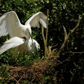 White heron. Breeding pair mating at the nest. Waitangiroto River, November 2013. Image © Glenda Rees by Glenda Rees Glenda Rees (http://www.flickr.com/photos/nzsamphotofanatic/)