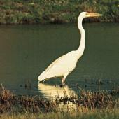White heron. Adult wading. Miranda. Image © Noel Knight by Noel Knight