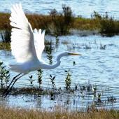 White heron. Adult taking flight. Miranda, March 2012. Image © Joke Baars by Joke Baars